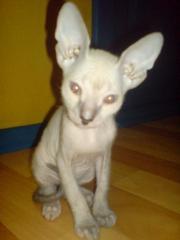 Продаются котята породы Донской Сфинкс
