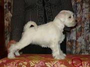 Предлагаем щенков цвергшнауцера белого окраса